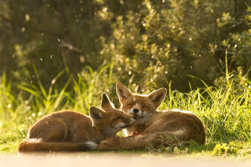 Foxy Love el fotógrafo demuestra que los zorros son criaturas extremadamente amorosas