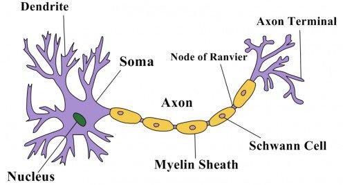Funciones y tipos de neuronas