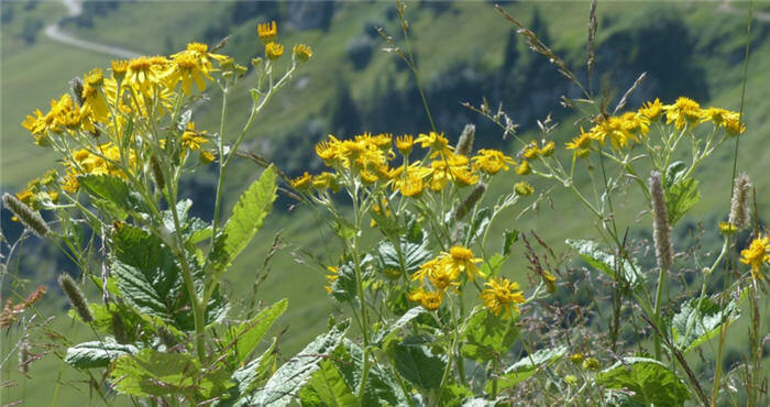 Groundsel Plant Facts
