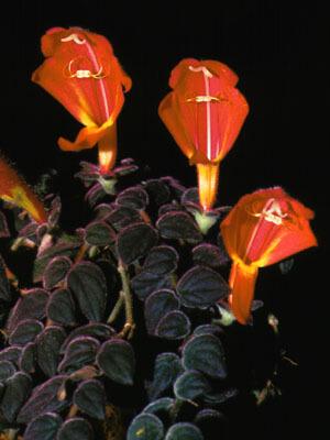 Instrucciones para el cuidado de las flores de Columnea Gloriosa