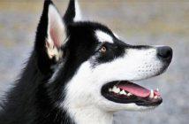 Cómo detener a un perro de lamer: Tratamientos para demasiada lengua
