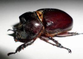 Datos del escarabajo para niños