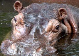 Curiosidades de los hipopotamos para niños