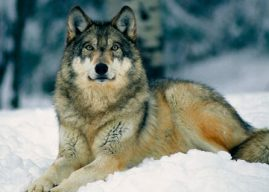 Datos sobre lobos para niños