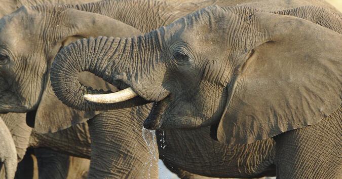Elefante Africano Caracteristicas