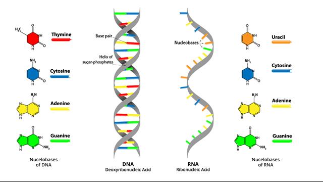 Diferencia Entre Los Nucleotidos Del Adn Y Arn Qué Es Un