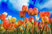 Frases Sobre Tulipán - Día del Tulipán