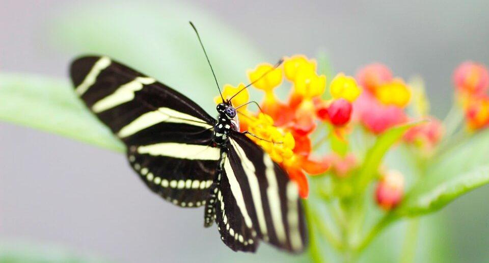 mariposa de cebra
