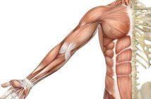 Fisiología y anatomía de los músculos: definición de músculo