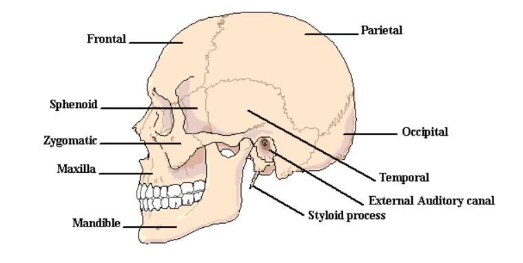 Información sobre anatomía y funciones del cráneo