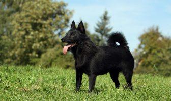 Datos del perro Schipperke - ¿Cómo se ve un Schipperke?