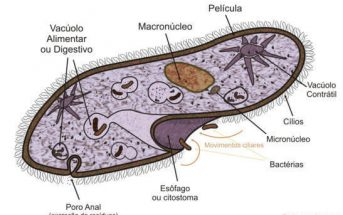 Paramecium