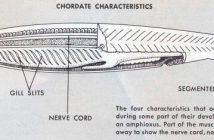 Características de los cordados y la división, anatomía, evolución y características