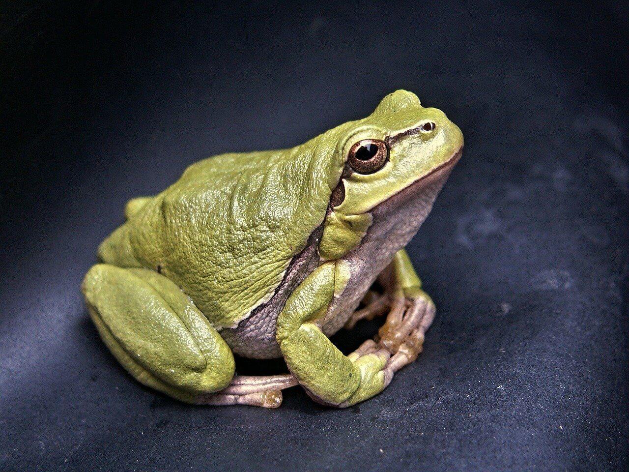 Características de las ranas: comportamiento y cría