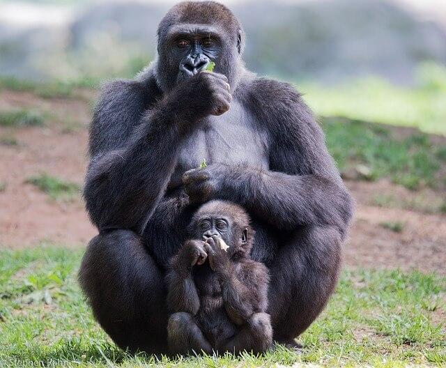 Información sobre los gorilas: cómo viven los gorilas, sus características