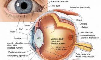 Estructura de los ojos y sus funciones: cómo vemos
