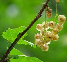 Datos de la planta de grosella espinosa – Datos de la fruta de grosella espinosa, crecimiento y siembra