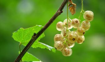 Datos de la planta de grosella espinosa - Datos de la fruta de grosella espinosa, crecimiento y siembra