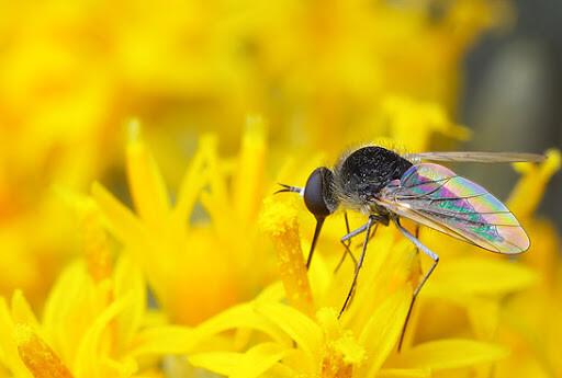 Polinización por moscas: ¿cómo polinizan las moscas?