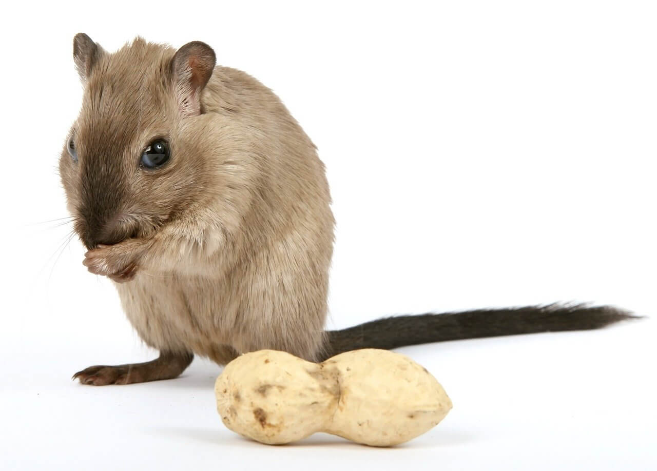Información sobre ratas: hábitat vivo, reproducción y características