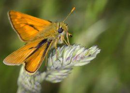 ¿Polinizan las polillas? Polinización por polillas y mariposas