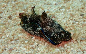 liebre marina