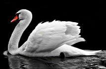 Información sobre Cisne: ¿Cuáles son las características de Cisne?