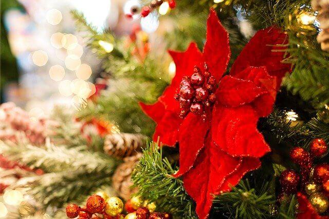 Poinsettias en Navidad - ¿Por qué son populares las poinsettias en Navidad?