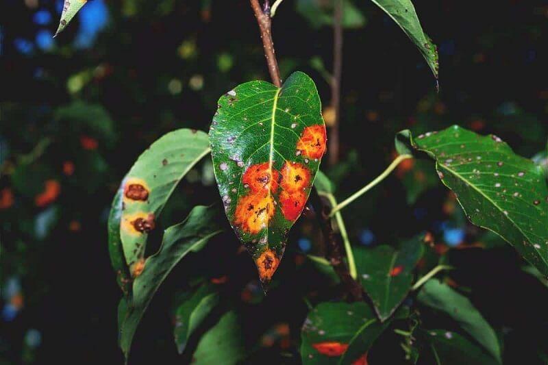 ¿Qué es el hongo óxido? Información sobre el hongo de la roya en las plantas