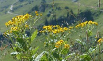 Datos de la planta Senecio vulgaris: maleza, flor y crecimiento de Senecio vulgaris