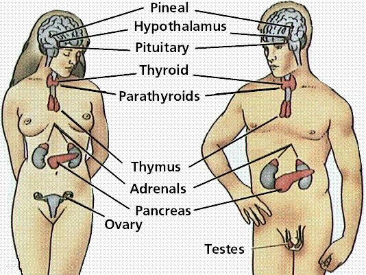 Funciones y glándulas del sistema endocrino