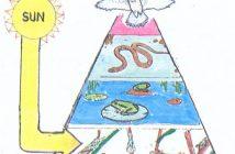 ¿En qué se parece una pirámide energética a una cadena alimentaria?
