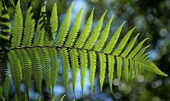 Historia de la planta de helecho - ¿Cuál es el origen y la historia de la planta de helecho?