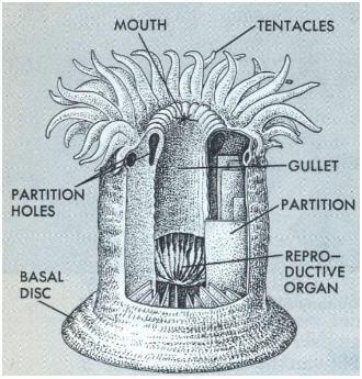 Información sobre los antozoos - Estructura - Reproducción y características