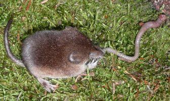 El mamífero más pequeño del mundo: Sorex (¿Por qué los esquimales le temen al Sorex?)