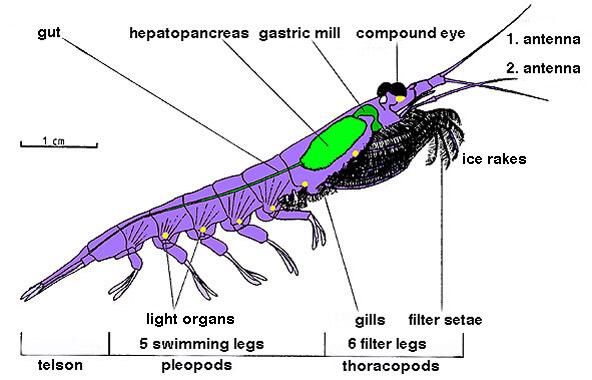 Estructura corporal de un crustáceo típico: el krill
