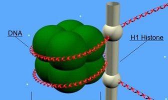 Nucleoproteína: nucleosoma en el que se observa el complejo formado por el ADN con las histonas.