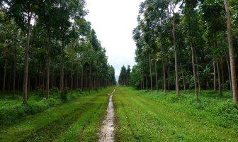 Información sobre el árbol de caoba (sustitutos de la verdadera caoba)