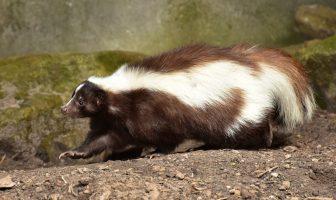 ¿Qué es la mofeta? Información sobre el animal mofeta - ¿Por qué huelen las mofetas?