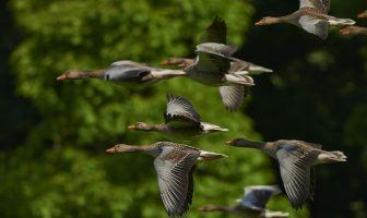Ganso : comportamiento, descripción y distribución, ciclo de vida, migración y navegación