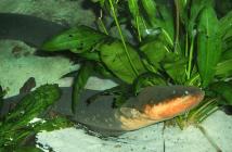 ¿Qué tipo de animal es una anguila eléctrica? Datos interesantes sobre sus características