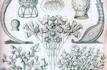 """""""Ciliata"""" de Ernst Haeckel (1904)"""